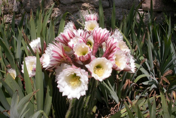 12.06.2010 Cactus florit  Torà -  Ramon Sunyer