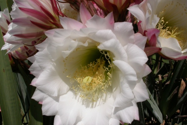 12.06.2010 Detall flor de cactus  Torà -  Ramon Sunyer