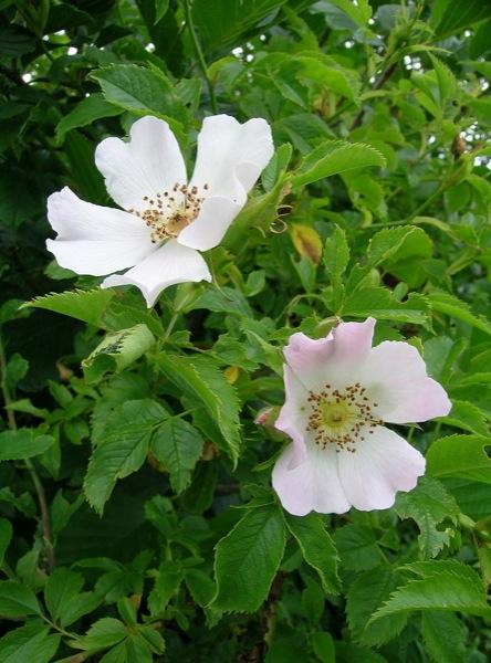 30.11.-0001 Roser salvatge florit  Torà -