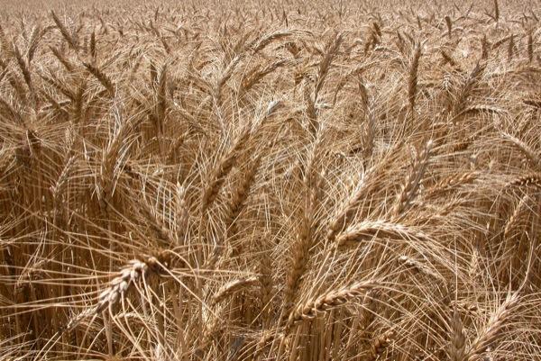 05.07.2010 Els cereals ja són a punt  Torà -  Ramon Sunyer