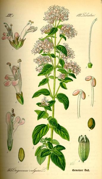 15.07.2010 Orenga  -  Kohler's Medicinal Plants