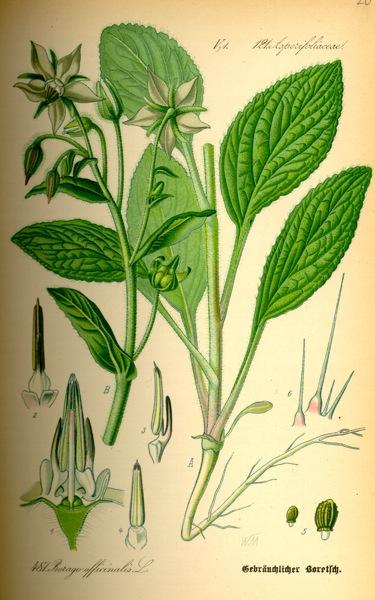 15.07.2010 Borratja  -  Kohler's Medicinal Plants