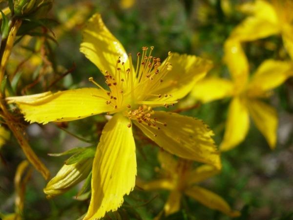 Flor de l'herba de sant joan -