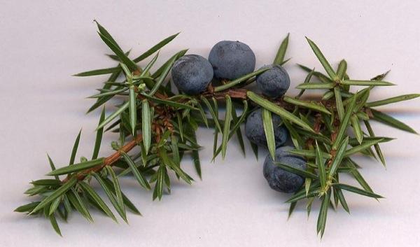 Les branques de Ginebró s'utilitzen per al reuma i la cia?tica -