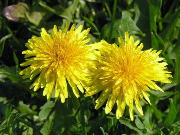 El Dent de lleó, la flor és composta (en forma de Margarida) i d'un color groc daurat