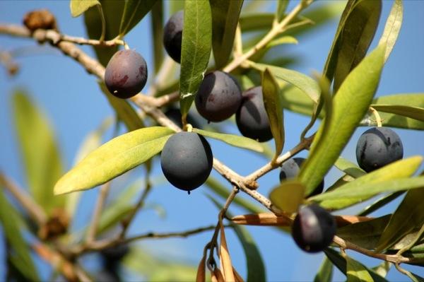 Les olives, el fruit de l'olivera