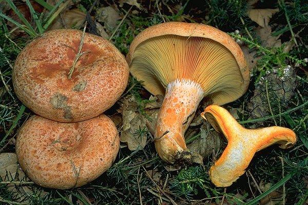 26.10.2012 Rovelló d'obaga o pinetell (Lactarius deliciosus)  -