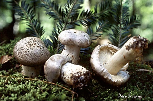 25.10.2010 Fredolic metzinós ( Tricholoma pardinum)  -