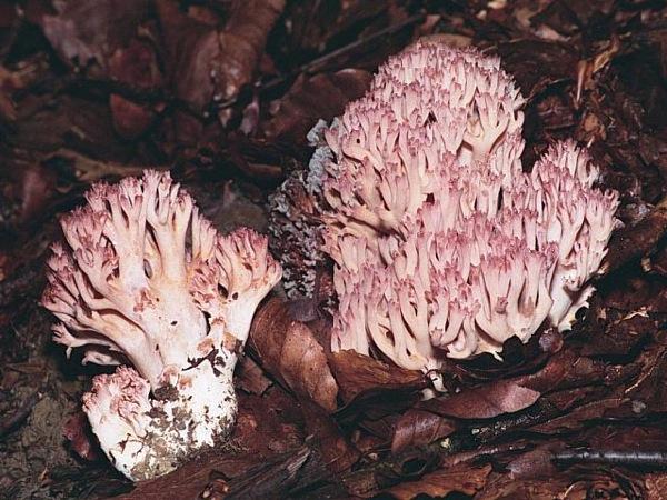 26.10.2010 Peu de rata (Ramaria botrytis)  -