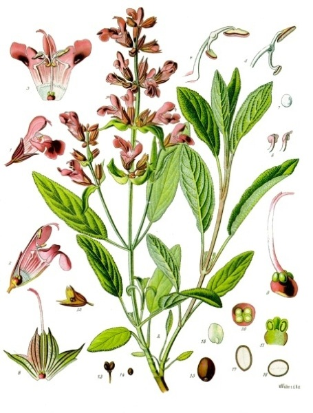 Salvia Officinalis -