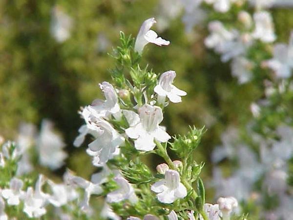 Sajolida florida
