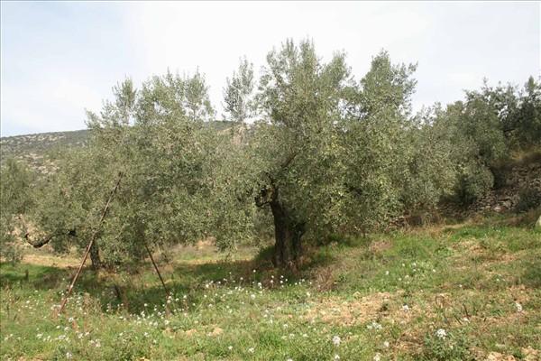 Oliveres de la varietat Sarrut - Noguera