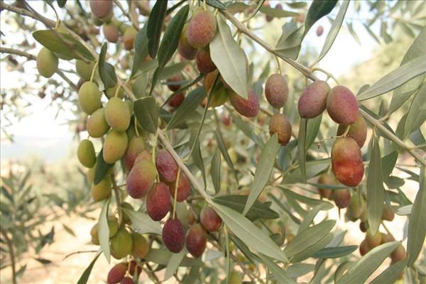 Oliva de la varietat Roget - Noguera
