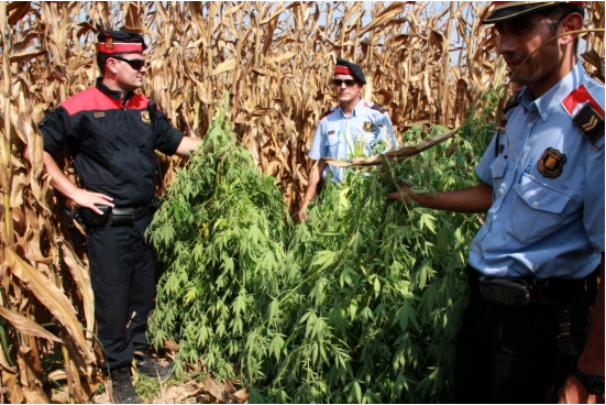 La policia comissant plantes -