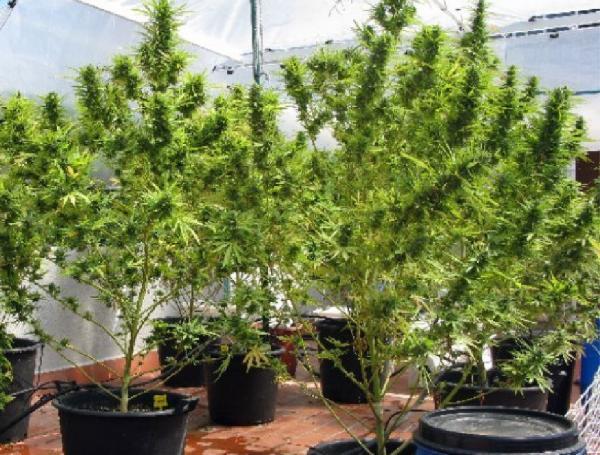 El cultiu de cannabis en terrasses és habitual a les grans ciutats -