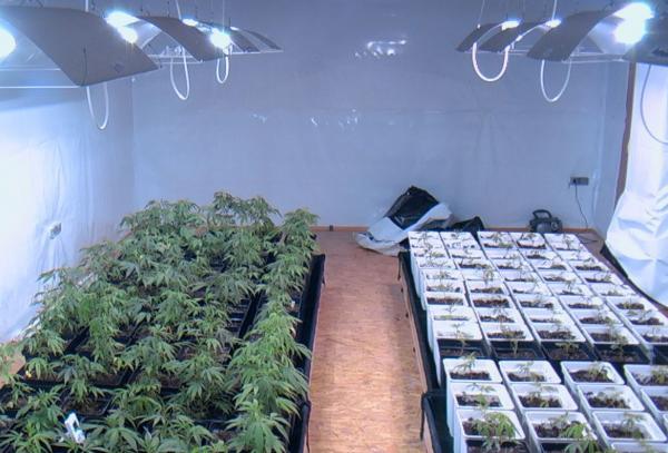 Cultiu de cannabis en interior -