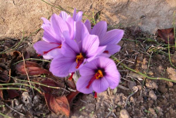 01.11.2011 Flor de safrà  Torà -  Ramon Sunyer