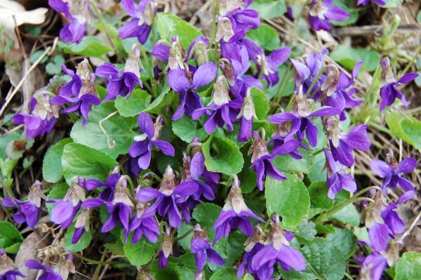 Viola boscana