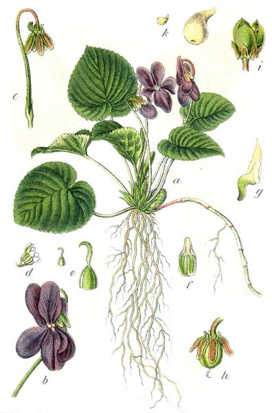 27.03.2012 Viola boscana ( odorata)  -