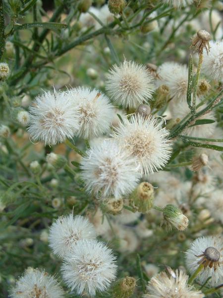 La Coniza bonarienca ha desenvolupat resistència al glifosat -