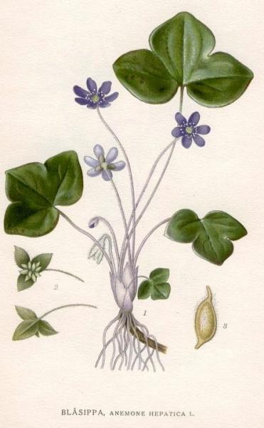 21.05.2012 L'herba fetgera, viola de llop o viola de pastor (Anemone hepatica)  -