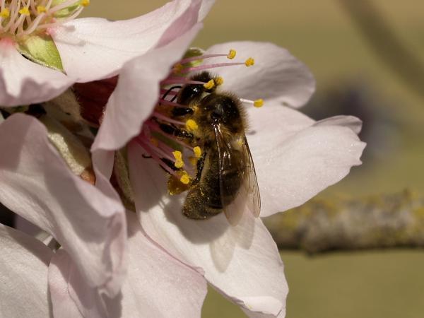 L'abella de la mel és un dels principals insectes pol·linitzadors