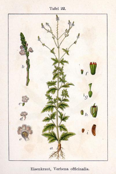 Berbena (verbena officinalis. Dioscòrides la considerava una herba sagrada -