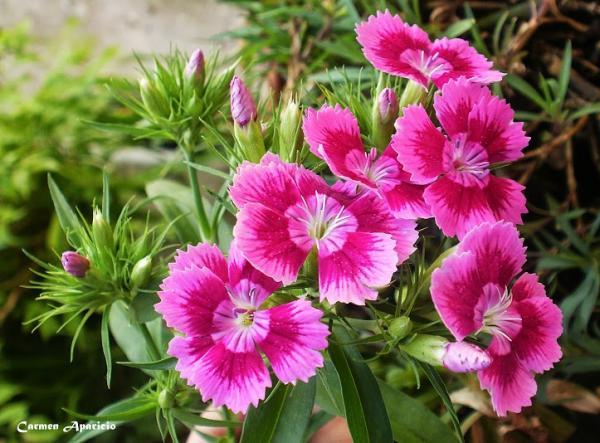 16.09.2013 Clavellines flors de estiu  -  Carmen Aparicio