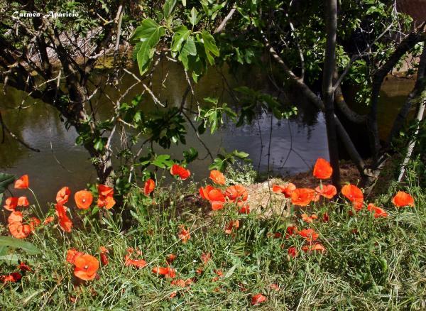 17.09.2013 Roselles a la vora del riu de Torá  Torá -  Carmen Aparicio