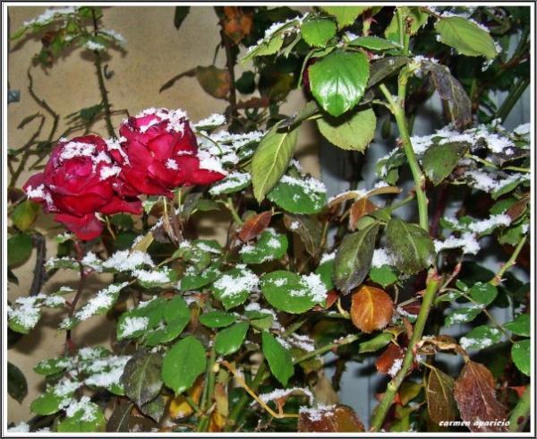 17.09.2013 Roses i neu  Torá -  Carmen Aparicio