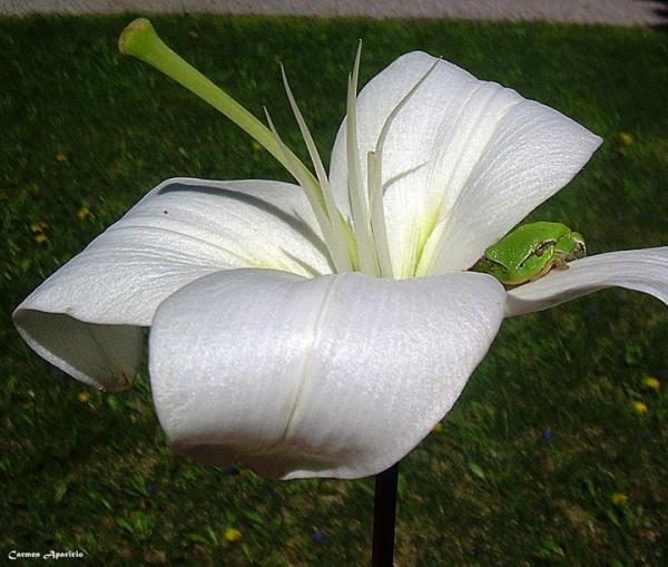 18.09.2013 flor i granota  Torà -  Carmen Aparicio