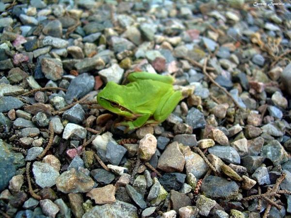 18.09.2013 Vaig trobar una granota  Torà -  Carmen Aparicio