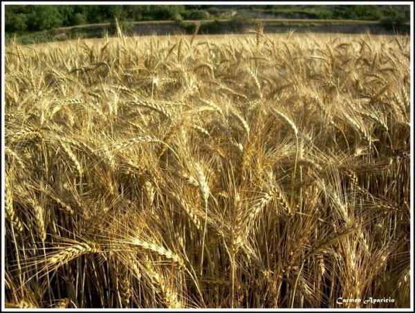 Camp de blat a punt de segar