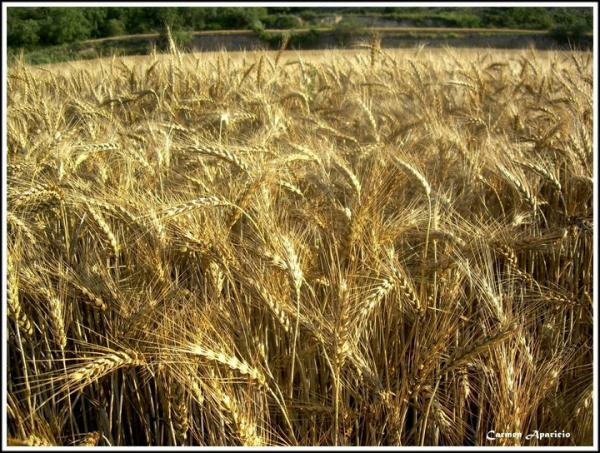 23.09.2013 Camp de blat a punt de segar  -  Carmen Aparicio