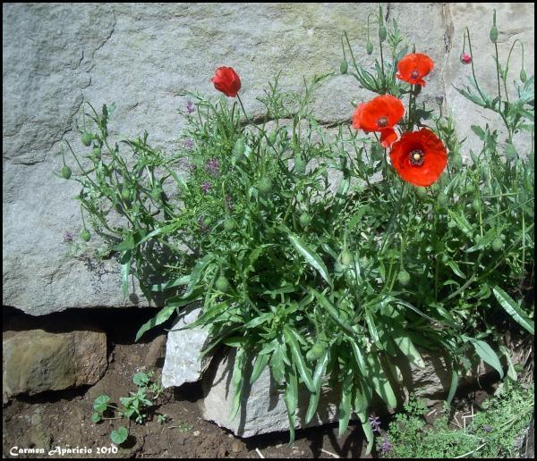 28.09.2013 Roselles entre les pedres  Torà -  Carmen Aparicio