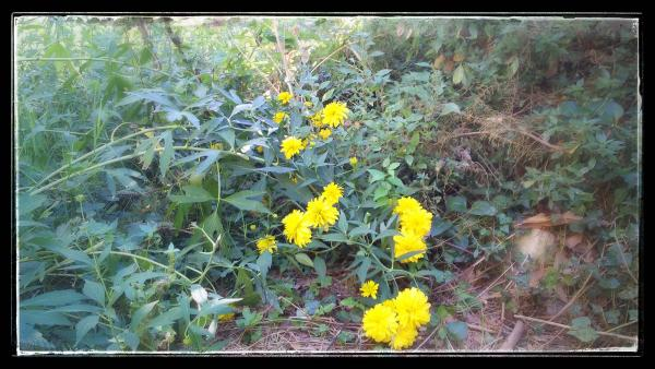 14.08.2014 flors  Torà -  Ramon Sunyer