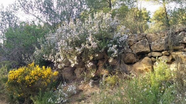 06.04.2015 Romanins i argelagues  L'Aguda -  Ramon Sunyer