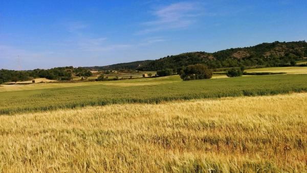 11.05.2015 camps de cereals a les Torrovelles  Torà -  Ramon Sunyer