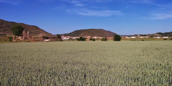 11.05.2015 El blat encara verd  Torà -  Ramon Sunyer