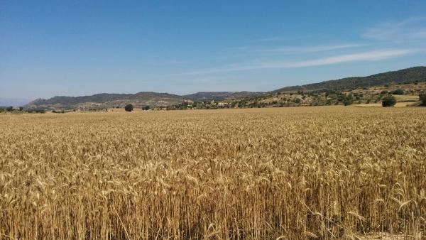 21.06.2015 camps de cereals  Sanaüja -  Ramon Sunyer