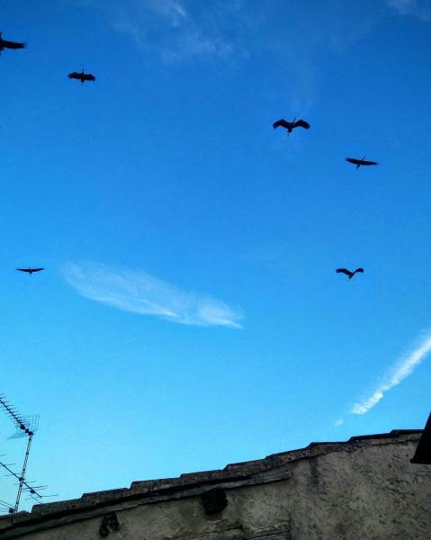 16.08.2015 Un centenar de cigonyes paren a Torà Torà - Ramon Sunyer