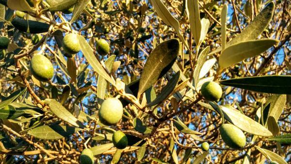 21.08.2015 Olives  L'Aguda -  Ramon Sunyer