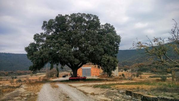 07.12.2015 Alzina a mas Armengol  Vilanova de l'Aguda -  Ramon Sunyer