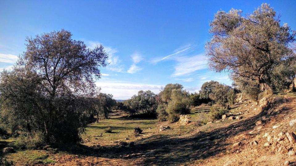 10.01.2016 velles oliveres  Vallferosa -  Ramon Sunyer