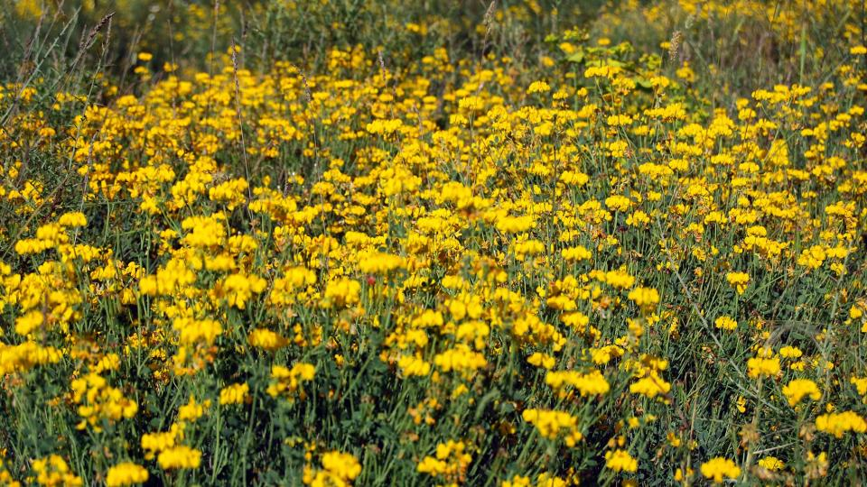 05.06.2016 flors  Torà -  Ramon Sunyer