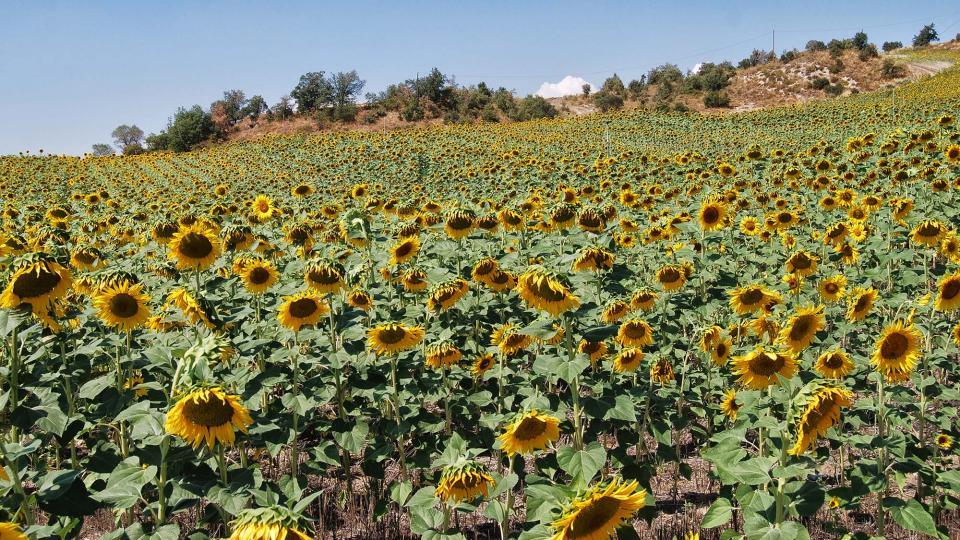 17.09.2016 gira-sols  Ribelles -  Ramon Sunyer
