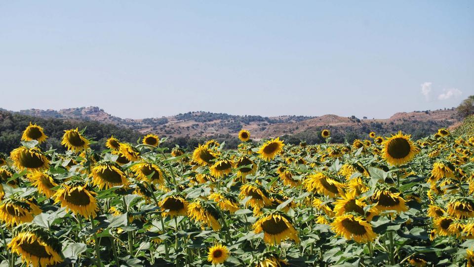11.09.2016 gira-sols  Ribelles -  Ramon Sunyer