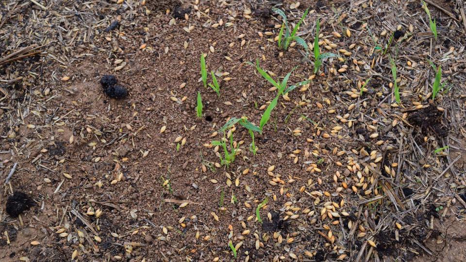 22.10.2016 les formigues recollint la sembradura  Fontanet -  Ramon Sunyer