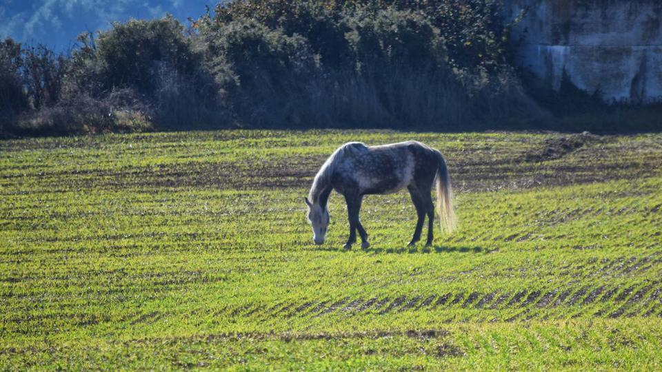 11.12.2016 cavall  Llobera -  Ramon Sunyer