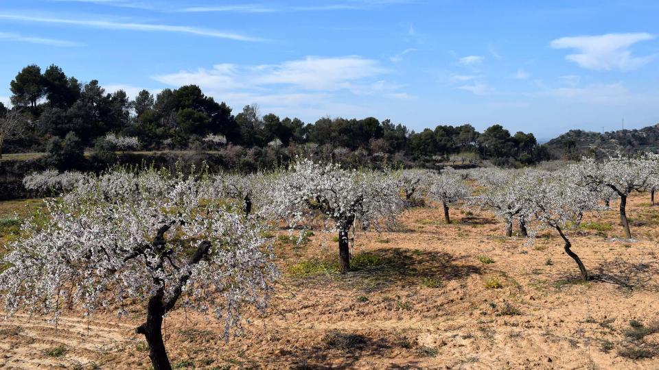 12.03.2017 ametllers florits  L'Aguda -  Ramon Sunyer